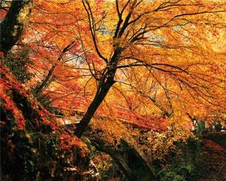 西明寺の指月橋周辺の紅葉/高雄