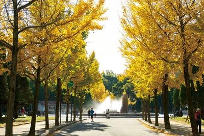 【写真を見る】黄金色に輝くイチョウ並木は、大阪城公園きっての見どころ/大阪城公園