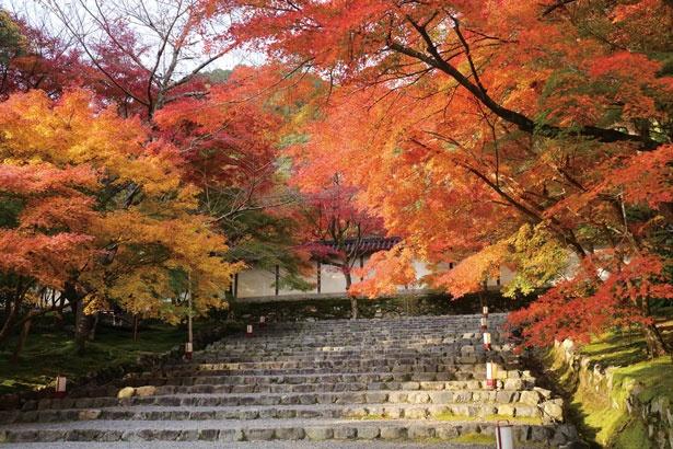 総門へと向かう参道の階段の木々も色付き、美しい紅葉のアーチに包まれる/二尊院