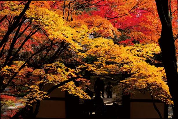 両わきに並ぶカエデが真っ赤に色付き、境内でもひと際美しい光景が広がる/常寂光寺