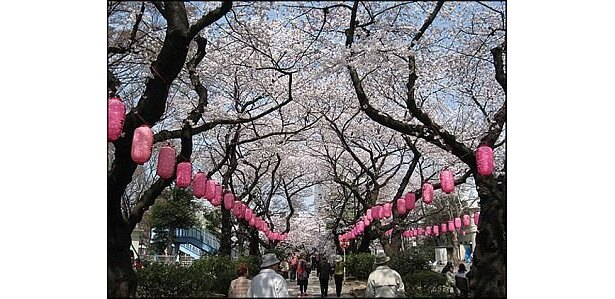 夜にはサクラ並木沿いにちょうちんがともされる「中野通り桜まつり」
