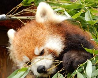 旭山動物園・レッサーパンダの食事風景