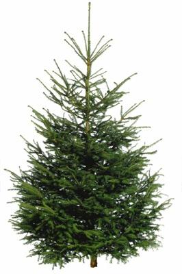 本物のクリスマスツリー