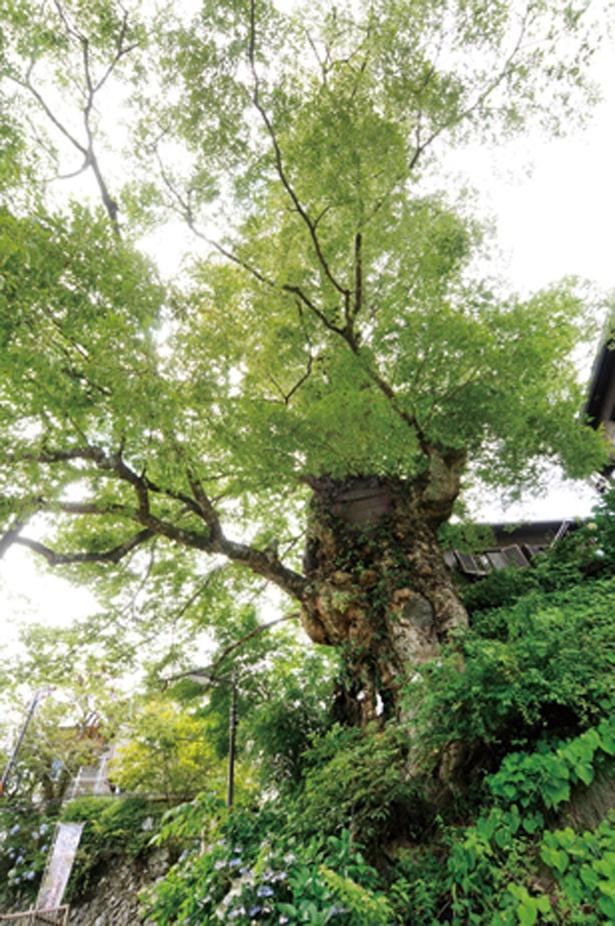 日の出山分岐の近くにある神代ケヤキは、推定樹齢1000年ともいわれる天然記念物