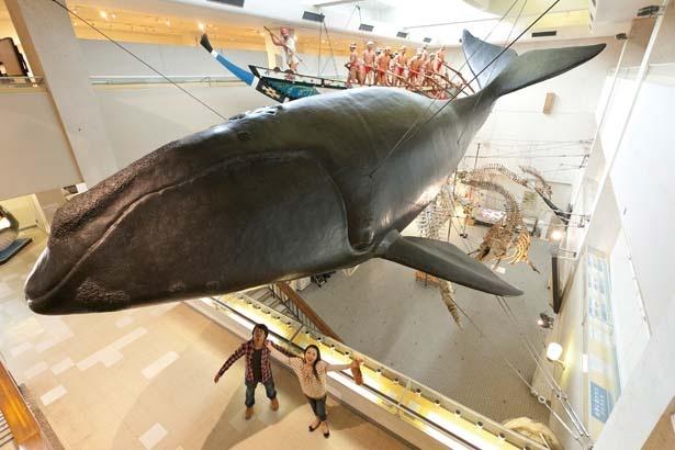 巨大なセミクジラやシャチなどの骨格標本は迫力満点/太地町立 くじらの博物館