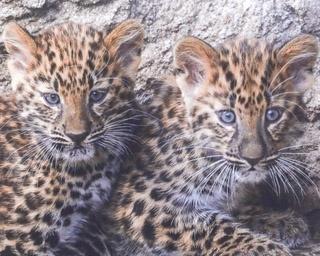 旭山動物園/アムールヒョウの双子(写真左がメス、右がオス)