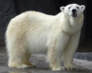 旭山動物園・「もぐもぐタイム」では見られる水中ダイブは迫力満点