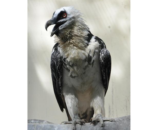 日本では静岡市立日本平動物園でしか見ることができないヒゲワシ