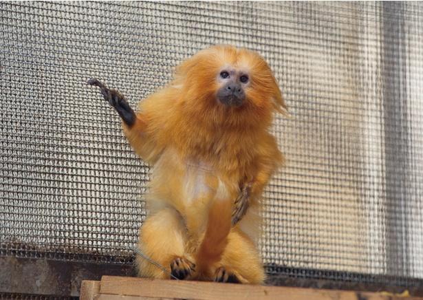 【写真を見る】日本では浜松市動物園でしか見ることができないゴールデンライオンタマリン