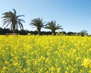 広がる黄色のじゅうたんにテンションアップ!「伊良湖菜の花ガーデン」