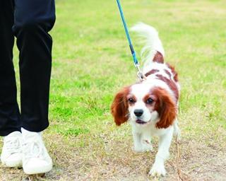 好みのイヌと散歩できる人気No.1企画お散歩レンタル。平日は園内の指定場所、土日祝はドッグラン周りのコースとお散歩広場で体験できる。(中小型犬1匹 17分550円、超大型犬1頭 22分1100円)