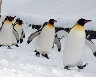 旭山動物園/ペンギンの散歩