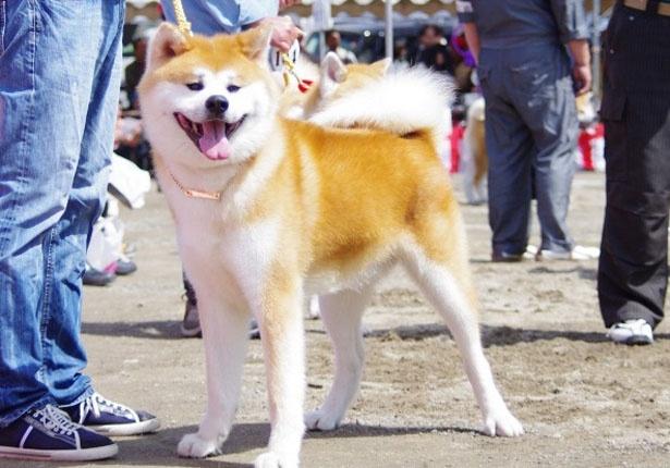 秋田犬とふれあえるコーナーも。ふれあいタイムは11:00~13:00、14:00~16:00の1日2回(アクアミュージアム前広場)