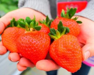 新春イチゴ狩りへGO!福岡・花立山ファームの採れたてのイチゴを堪能