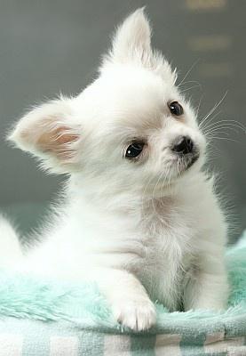 不動の1位は超小型犬・チワワ