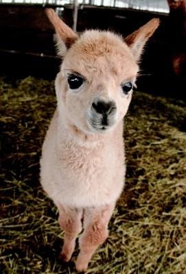 キュートな表情で人気沸騰!アルパカの赤ちゃん