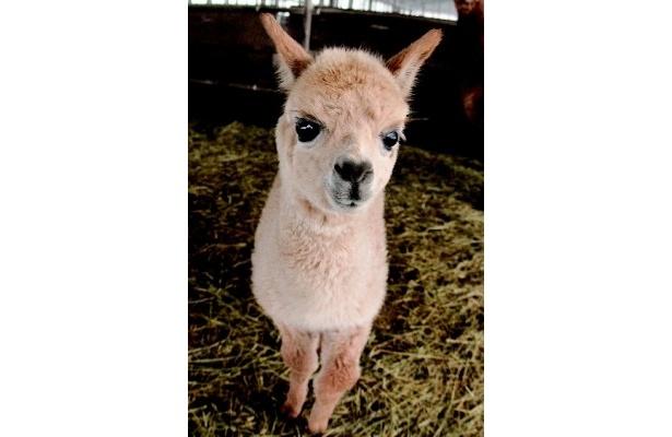 アルパカにカンガルー…各地で赤ちゃん動物が続々誕生