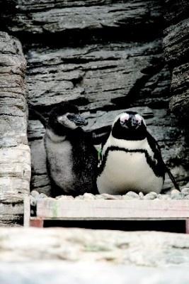サンシャイン国際水族館では、ケープペンギンの赤ちゃんも!