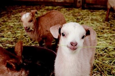 千葉県の成田ゆめ牧場では、双子のヤギの赤ちゃんが成長中!
