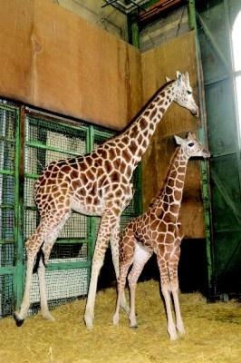 昨年12月に誕生した羽村市動物公園の赤ちゃんキリンは、なんと2mに!