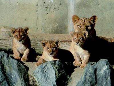 茨城県日立市かみね動物園では、勇ましい表情の3頭の赤ちゃんライオンが!