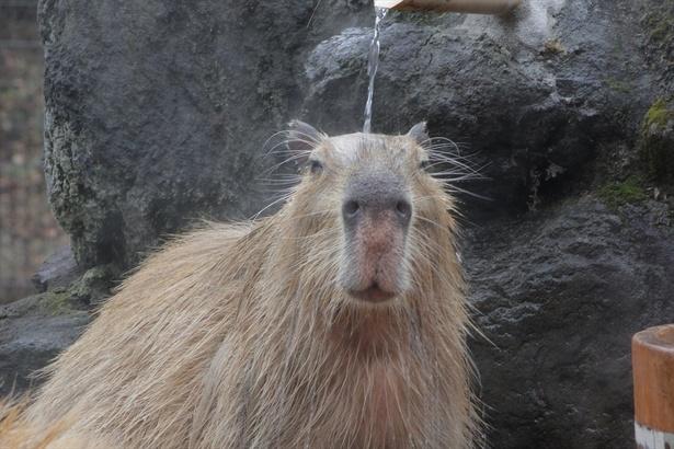 【写真を見る】調印を終えてお風呂でリラックスするカピバラ「カンナ」