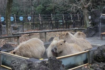 埼玉県こども動物自然公園にあるカピバラの露天風呂