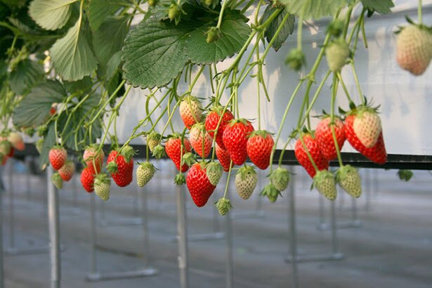 鮮度抜群の完熟いちごを満喫 / 新倉農園