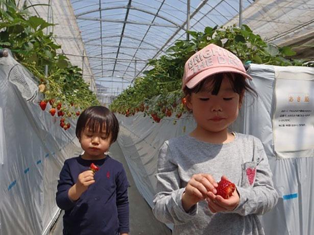 【上野駅から約1時間】 イチゴ狩りクーポンあり 埼玉県越谷市「いちご工房 木村屋」