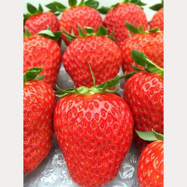 高設栽培による2種のいちごを堪能 / Strawberry Hunt