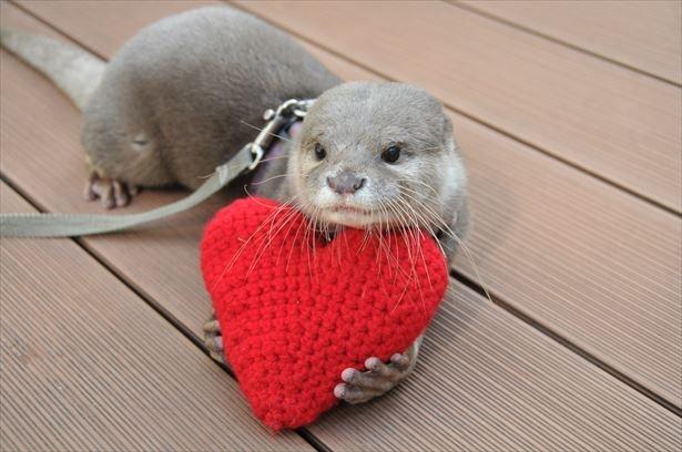 サンシャイン水族館にてバレンタインイベント開催!カワウソがハートで遊ぶ姿が見られる