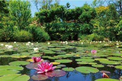 モネの庭を再現した睡蓮の庭では5月下旬~9月下旬にスイレンが観賞できる