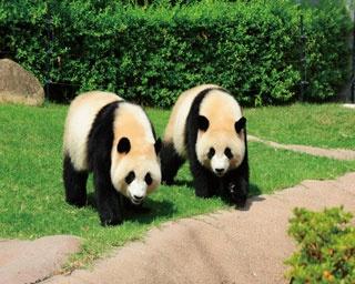青空の下で元気に遊ぶ双子のジャイアントパンダ「桜浜」と「桃浜」。