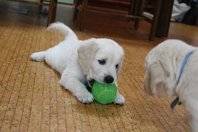 パピーウォーカーと過ごす時間は欠かせない経験/公益財団法人関西盲導犬協会
