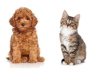 人気犬種・猫種ランキング2017発表!1位はトイ・プードル&混血猫