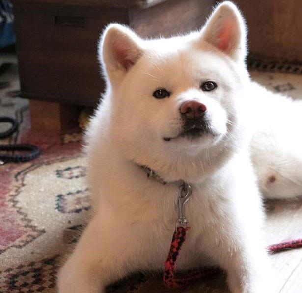 マツ(1歳半オス)秋田犬/ナナクモbooks&folkart