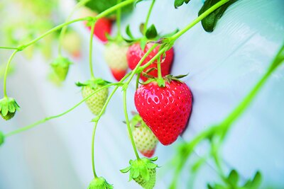 「とちおとめ」に「さがほのか」を交配して生まれた「あまおとめ」。「かたのいちご園」をはじめ、まだ食べられるイチゴ園は少ない