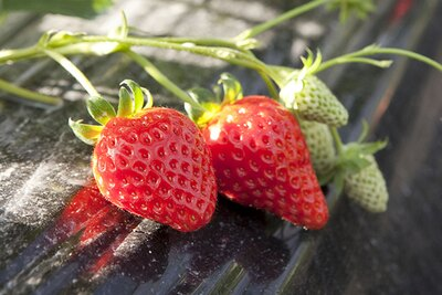 愛知県のオリジナル品種で県内では珍しい「ゆめのか」。鈴木農園ではこの希少なイチゴを食べられる