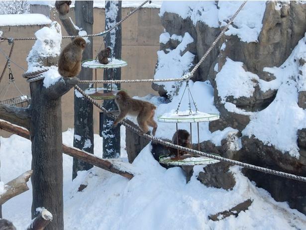 旭山動物園/「さる山」の遊具で遊ぶサル