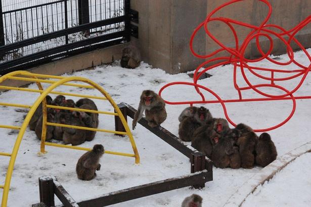 """旭山動物園/「さる山」に出来た、2つの""""サルだんご"""""""
