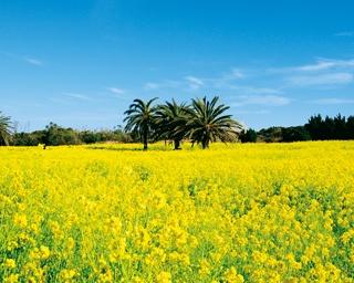 その数、約120万本!一面黄色に染まった菜の花畑