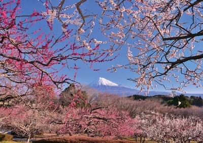 梅と富士のコントラストが美しい、今だけの景色/岩本山公園