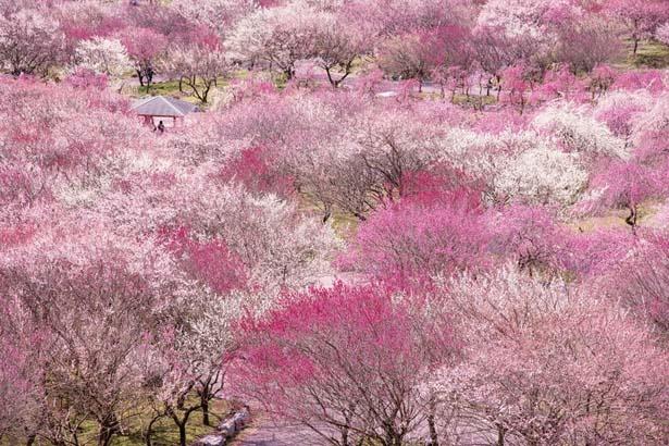 約100種類4000本の梅が咲き乱れる園内は、圧巻の美しさ/いなべ市の梅まつり