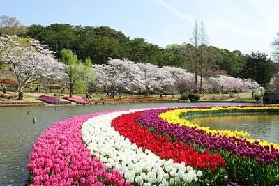 ピンクや赤、白、紫、黄色と色とりどりのチューリップの向こうに見えるのはソメイヨシノ