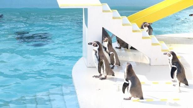 おたる水族館のペンギン