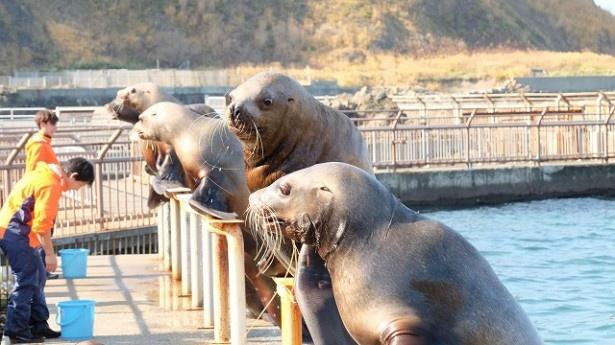 おたる水族館にはセイウチ、アザラシ、オタリアなどたくさんの動物が存在