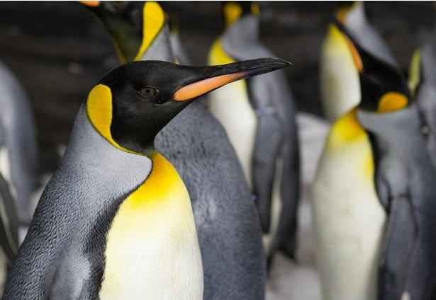 佐々木がナレーションを担当したドキュメンタリー番組「世界のペンギン図鑑」