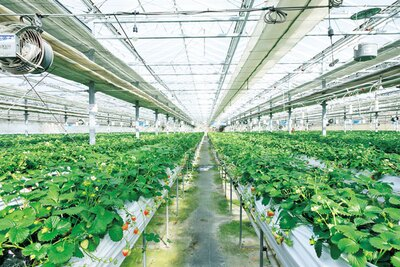 3種類のイチゴが楽しめる高設土耕栽培のハウス/道の駅 針テラス