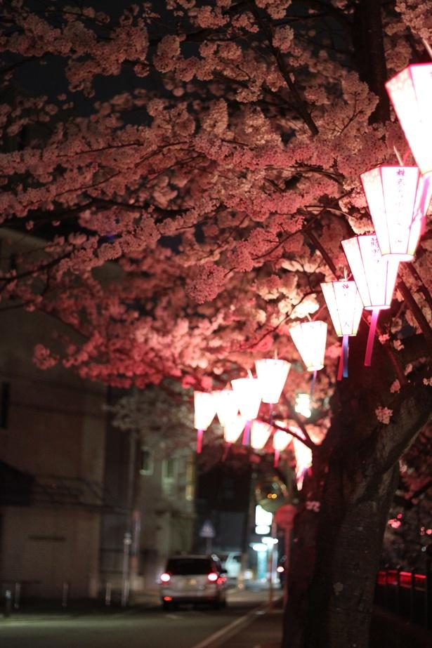 ぼんぼりが点灯する夜桜クルーズもロマンチック!