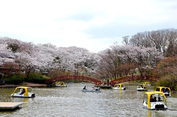 足こぎのサイクルボート1隻(600円)、手こぎのローボート1隻(400円)各30分。白鳥湖のほとりに咲くサクラを水上から眺めよう